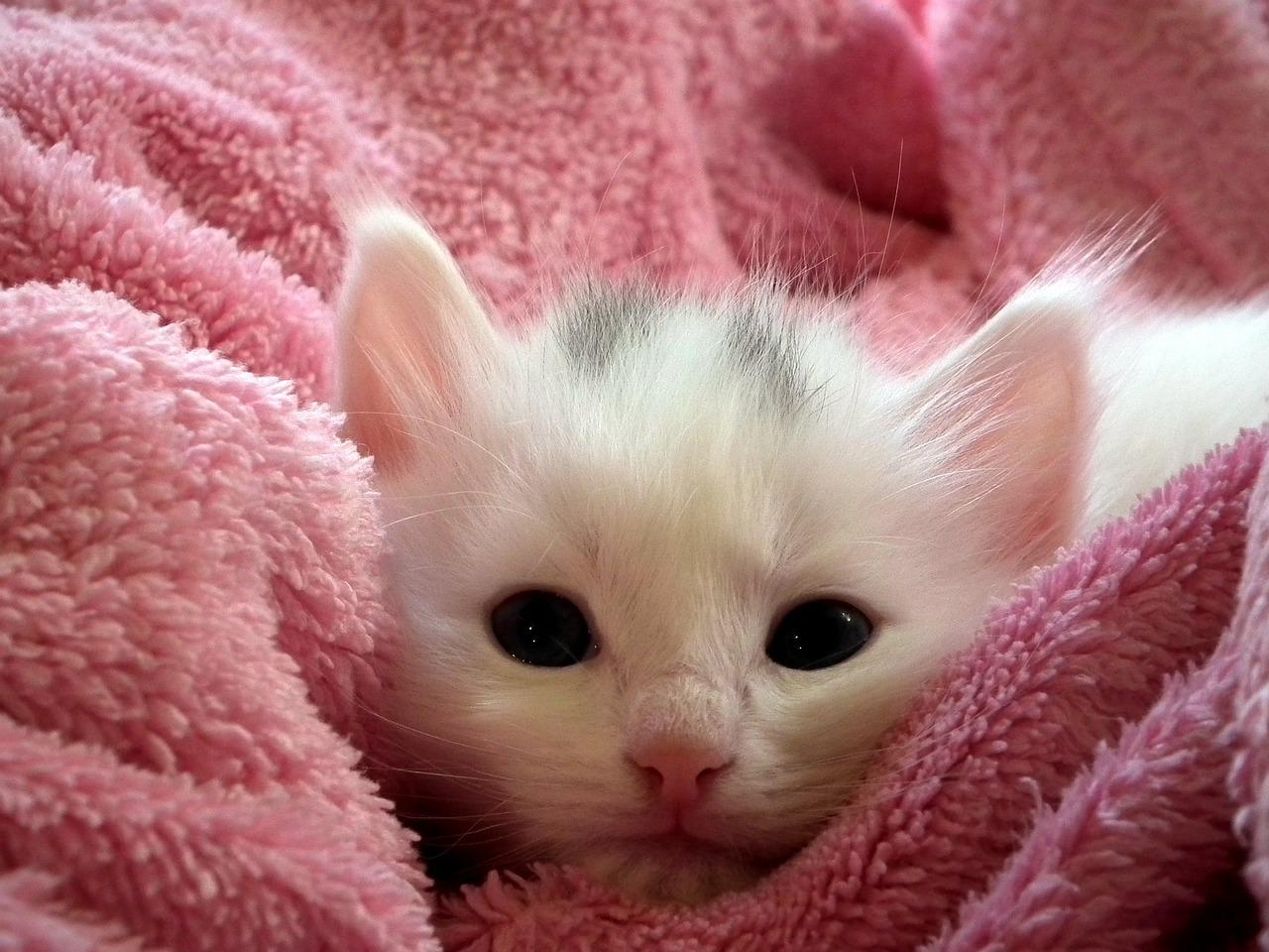 domestic kitten on a pink towel